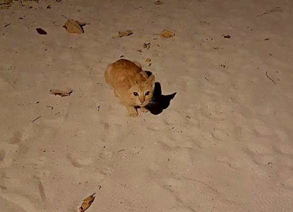 почему у мальдивских кошек хвосты сломаны